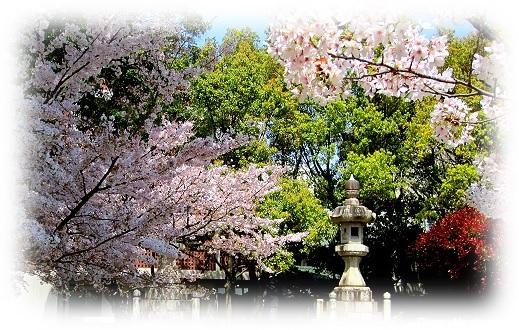 nagasaki cherry blossoms